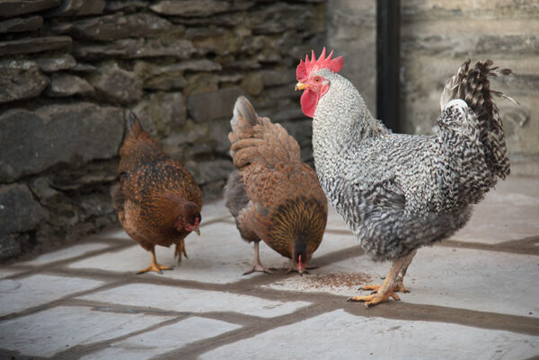 middle-studfold-farm-bed-and-breakfast-chickens-buttonu814-fr3_518fbbdc