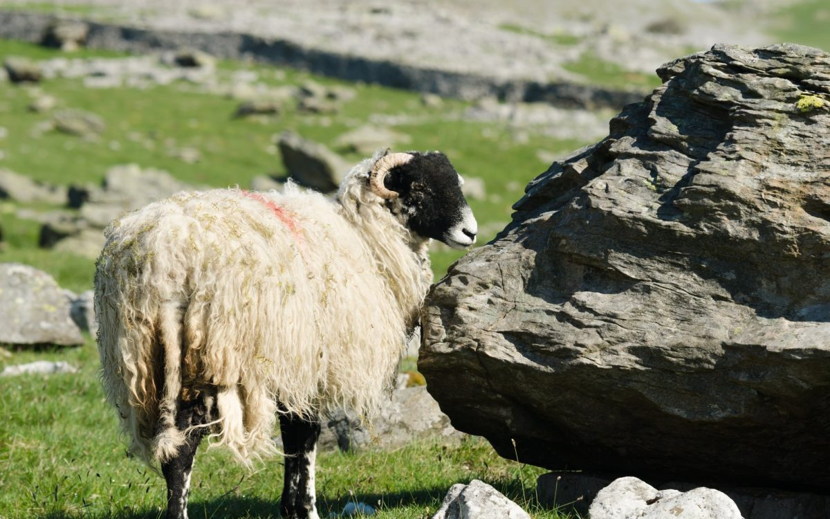 photo of a sheep by a rock